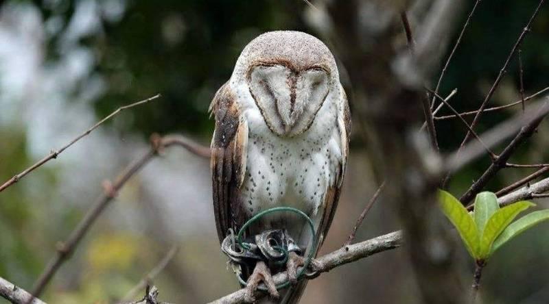這隻倉鴞出現在大安森林公園樹梢,鳥友發現牠被腳鐐銬住,恐無法覓食。(鳥友趙永裕提供)