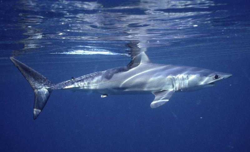 紐西蘭近日有位男子在海灘戲水時,轉頭見海面有「兩面鯊魚鰭」。鯊魚示意圖。(法新社)