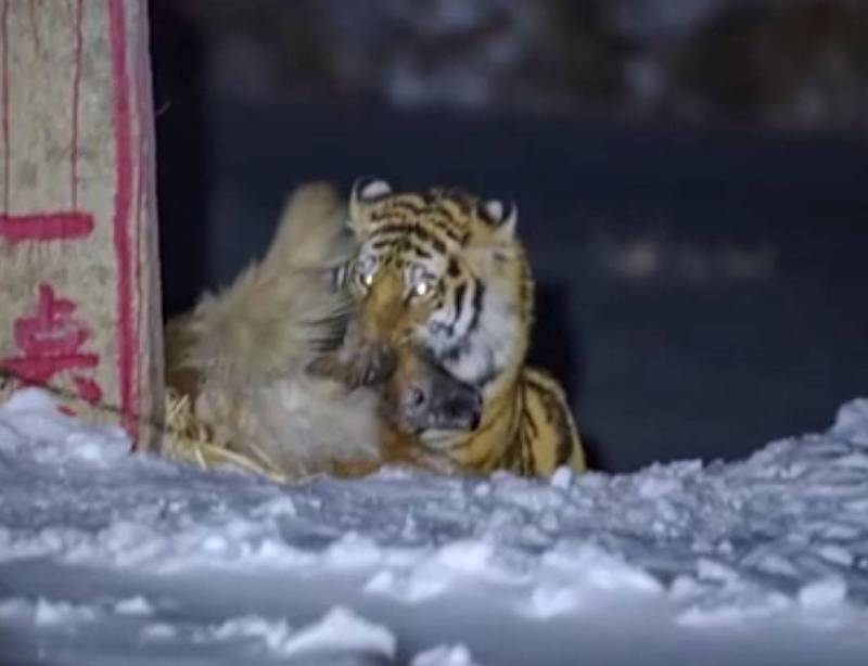 In the village of Yanbian, Jilin, China, a photographer captured the amazing picture of a tiger entering the village and killing his dog.  (The picture is taken from Weibo)