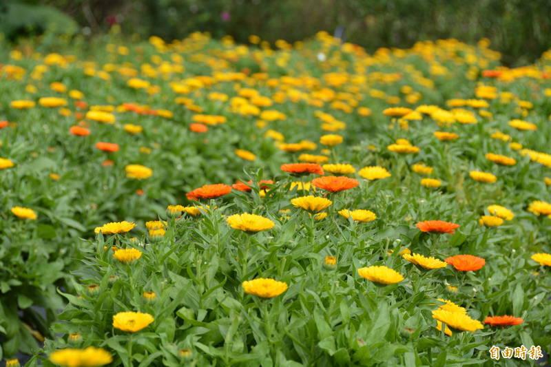 全台大面積種植金盞花人數少,除屬冬季花,每天更只在早上10點至下午2點半開花,連續開合3次就會凋謝,所以在開花時就要搶收,很耗人力。(記者王峻祺攝)