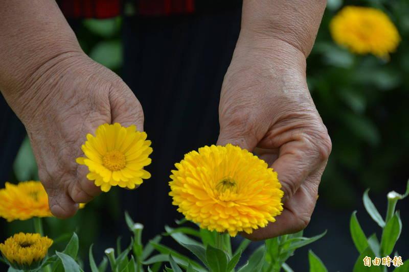 2千株金盞花在花蓮吉安初英山腳下盛開,共有黃、菊2色。(記者王峻祺攝)