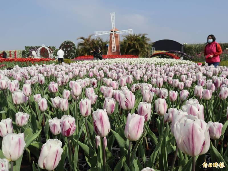后里中社觀光花市鬱金香花開,花期預計可至3月中旬。(記者歐素美攝)