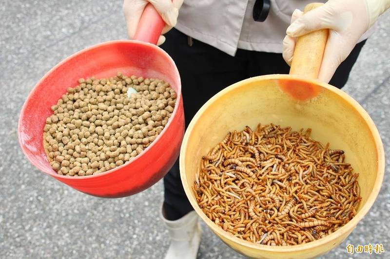 最近蛋白質豐富的麵包蟲通過歐洲食品安全局的安全風險評估,可以將乾燥的麵包蟲的磨成粉拿來添加在食品中。(資料照)
