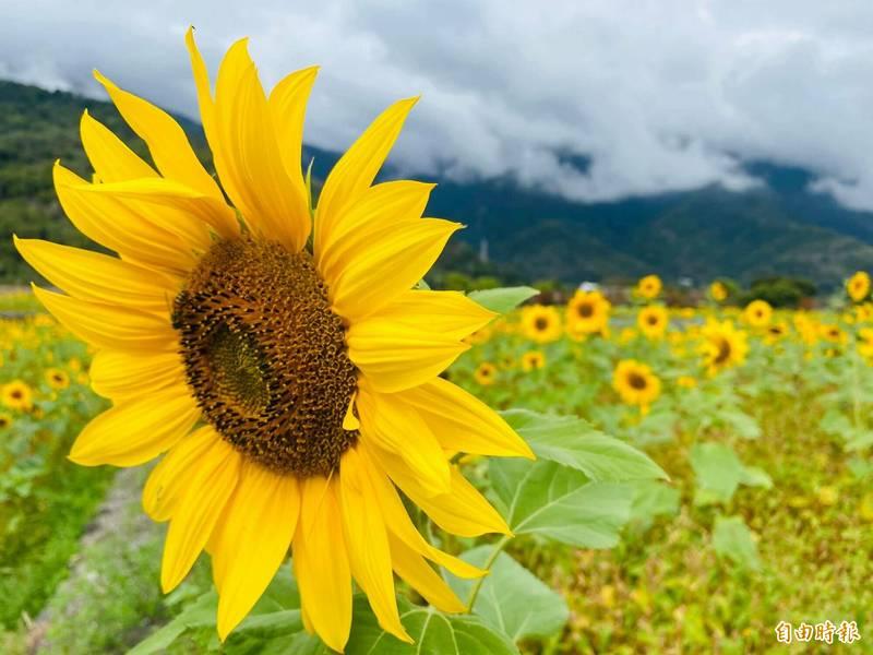 趁著向日葵花海即將陸續打田翻耕之際,蜜蜂、蝴蝶都趕來搶食。(記者陳賢義攝)