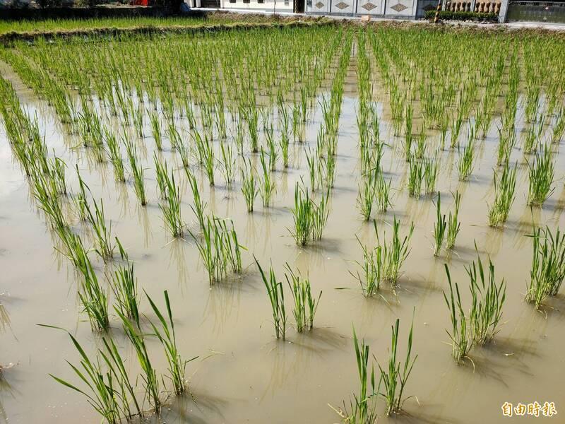 埔里鎮重要作物茭白筍幾乎1年4季都有生產,生長結筍期需要大量活水,農民憂心缺水恐會影響產量品質。(記者佟振國攝)