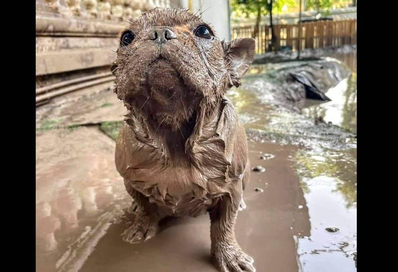 小狗被鞭炮嚇到後直接跑進泥巴水,變成「土撥鼠」。(圖取自臉書社團「爆廢1公社」)