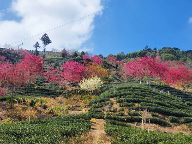 古坑石壁的櫻花、李花、茶樹、藍天、黃土等,五彩繽紛。(圖由讀者提供)