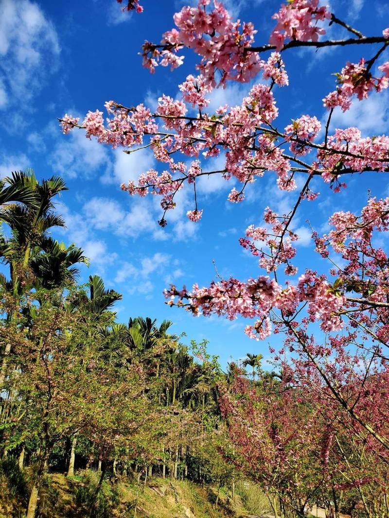 古坑草嶺青山坪櫻花已盛開。(圖由讀者提供)
