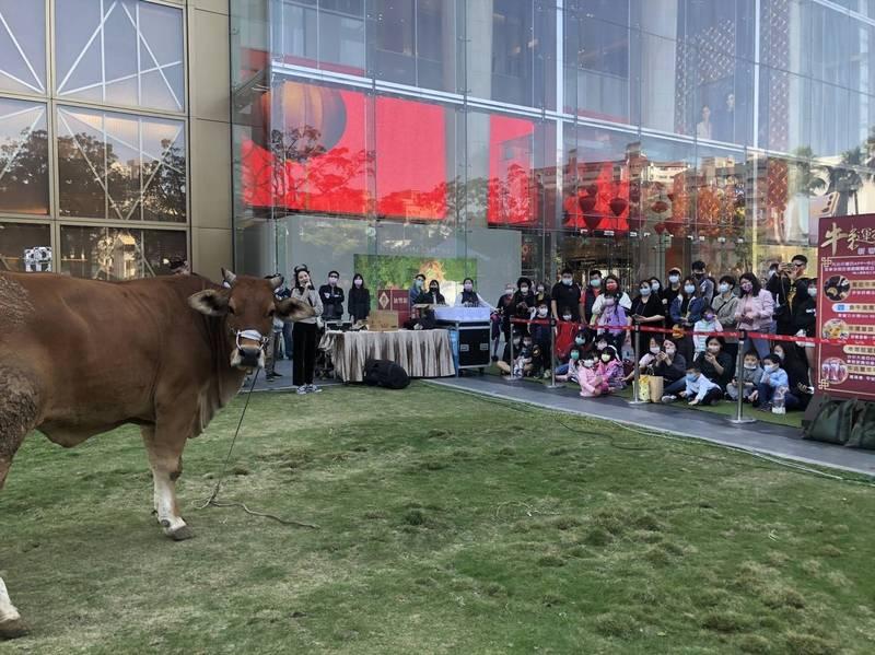 台中大遠百在過年期間安排真牛在百貨公司的廣場跟民眾互動。(台中大遠百提供)