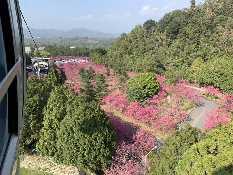 九族文化村今年櫻花大爆發,從高空纜車就能飽覽大片的桃紅色櫻花美景。(九族文化村提供)