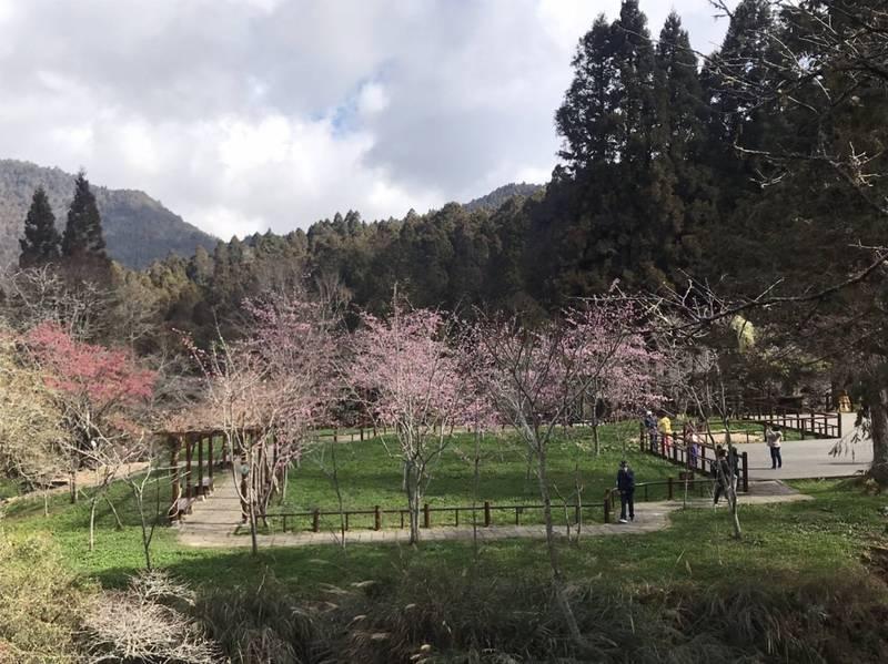 阿里山花季3月10日登場 園區內管制人數上限4355人,民眾假日須於管制點購票排隊前往賞花。(圖:嘉義林管處提供)