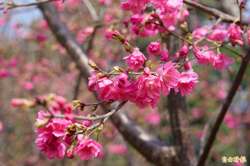 鶯歌區永吉公園遍佈櫻花盛開美景。(記者周湘芸攝)