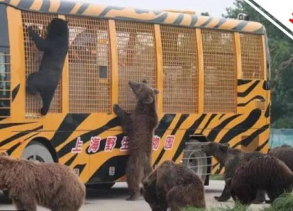 上海野生動物園猛獸區已於18日重新開放,棕熊等猛獸類動物已被安置到封閉場所內供遊客參觀。(圖擷取自微博)