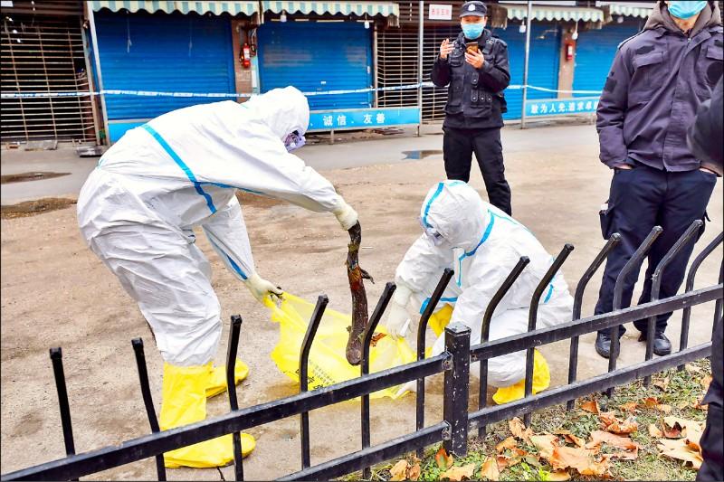 去年一月底兩名工作人員穿戴防護衣,捕捉一隻從武漢華南海鮮批發市場逃出的蠑螈。(美聯社檔案照)