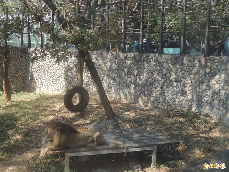 高雄市長陳其邁今專程探訪壽山動物園,並看看萬獸之王小巴生活情況。(記者王榮祥攝)