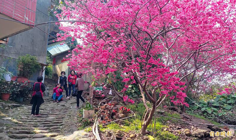 員林市湖水社區種植多株的八重櫻盛開,與一旁石階相映,古色古香,別有風情鎮。(記者陳冠備攝)
