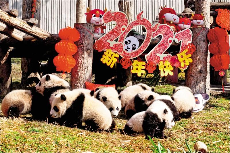 中國四川省臥龍中華大熊貓苑神樹坪基地的貓熊寶寶,3日在充滿年味的環境中開心進食。 (法新社)