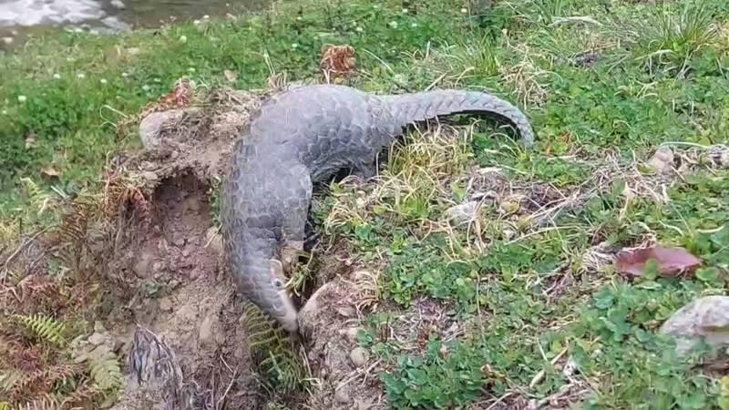 南投杉林溪出現「萌獸」穿山甲出沒,掘土覓食的模樣萌翻天。(陳科綬提供)