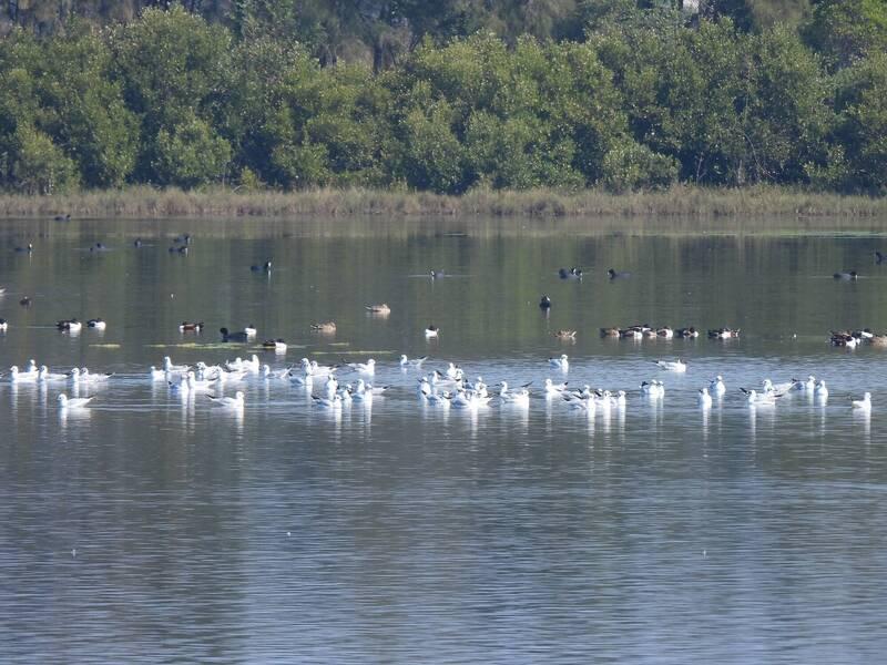 民眾到布袋濕地生態園區觀察候鳥,看到38種鳥類,相當開心。(記者林宜樟翻攝)