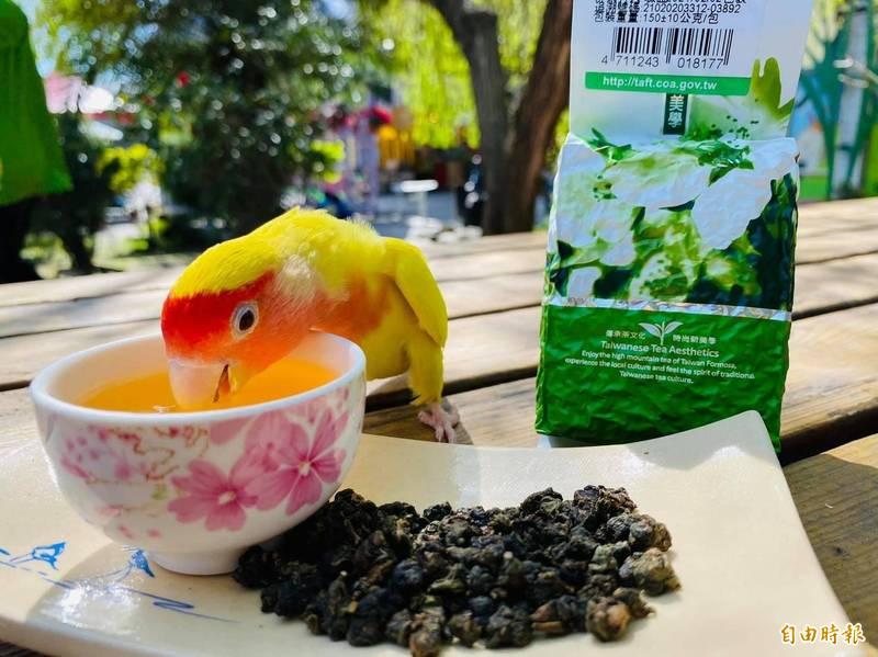 鸚鵡「芒果」是疼某茶最佳見證人,常會自己跑去喝茶、吃茶葉,證明自家產品是無毒安心的。(記者陳賢義攝)