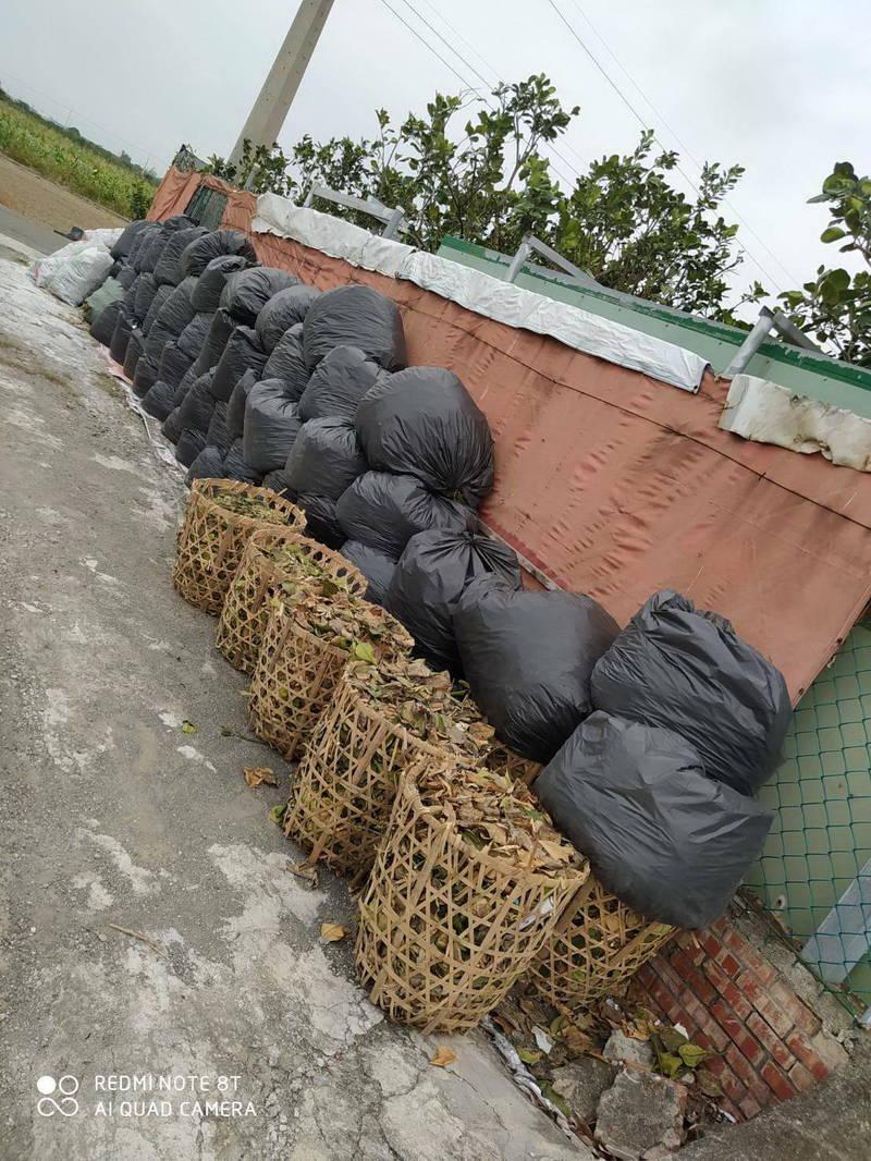 過去柚農們每到冬季修剪柚枝後,綑綁或包裝堆放園外路邊,由麻豆區清潔隊垃圾車清運載走。(李啟維提供)