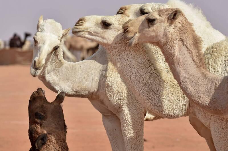 武漢肺炎》駱駝家族相助!法國開發新檢測方法 準確度達9成