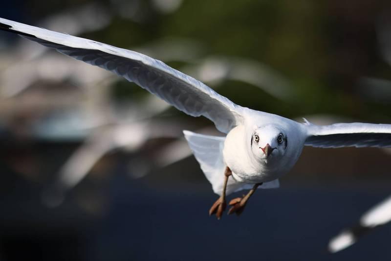 示意圖,非當事海鷗。(法新社)
