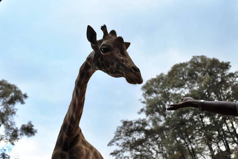 肯亞的Soysambu保護區內有3隻瀕危羅氏長頸鹿遭到低空懸掛的電纜電死。圖為肯亞的羅氏長頸鹿,示意圖。(法新社)