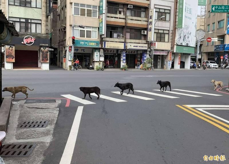 奇觀! 5流浪狗排隊走斑馬線 比人還守法