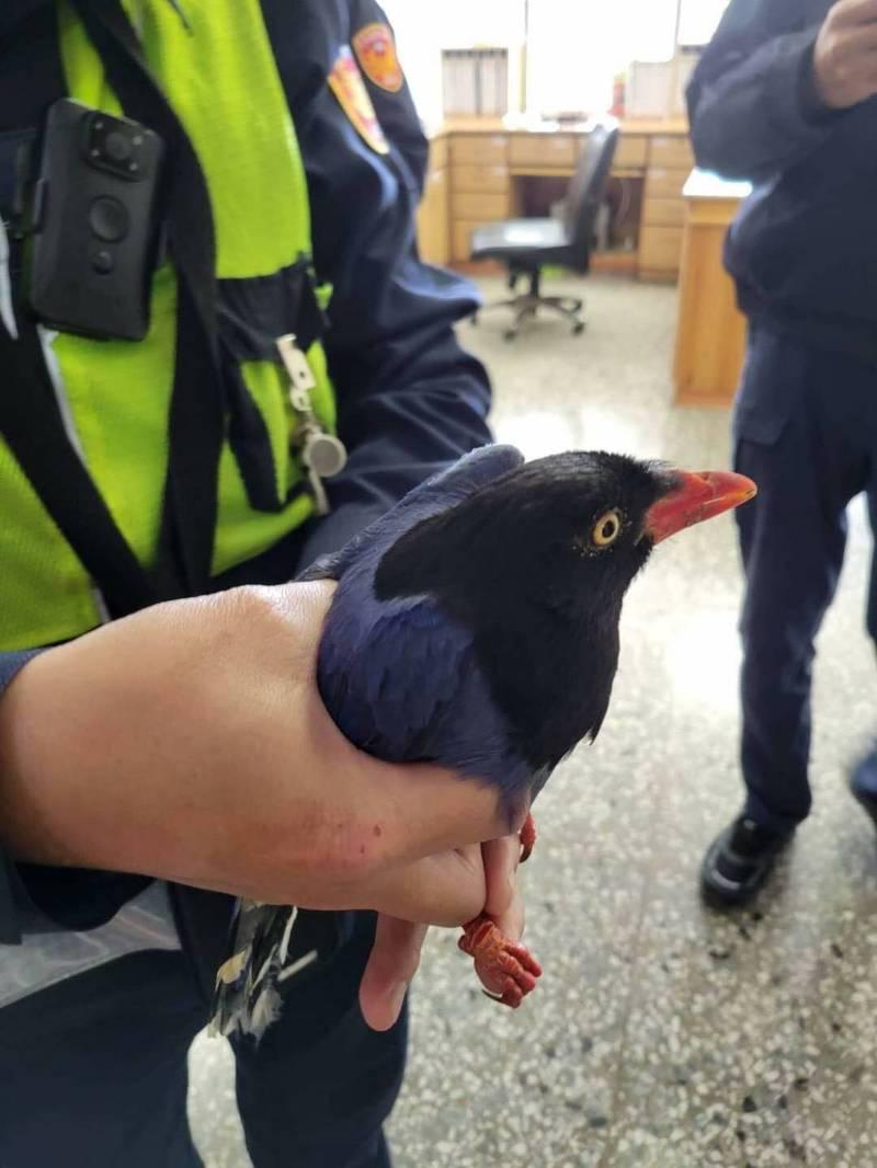 2隻台灣藍鵲在民宅前打架 1隻傷鳥被警方抓進派出所