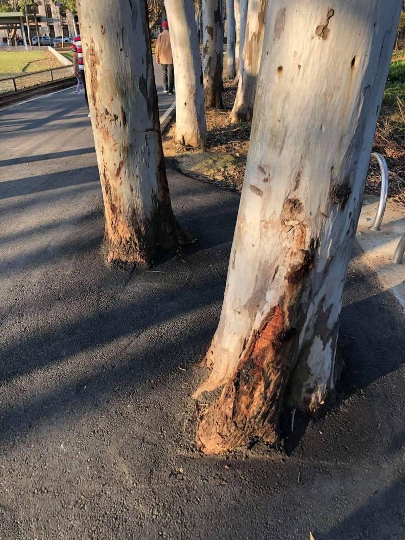 竹南運動公園白千層樹根被柏油封住,議員認不妥。(苗栗縣議員宋國鼎提供)