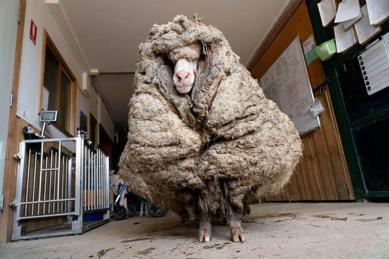 澳洲一頭綿羊流浪荒野多年,身體狀況不佳還長出一身厚重的羊毛,直到近日才被民眾發現。(路透)