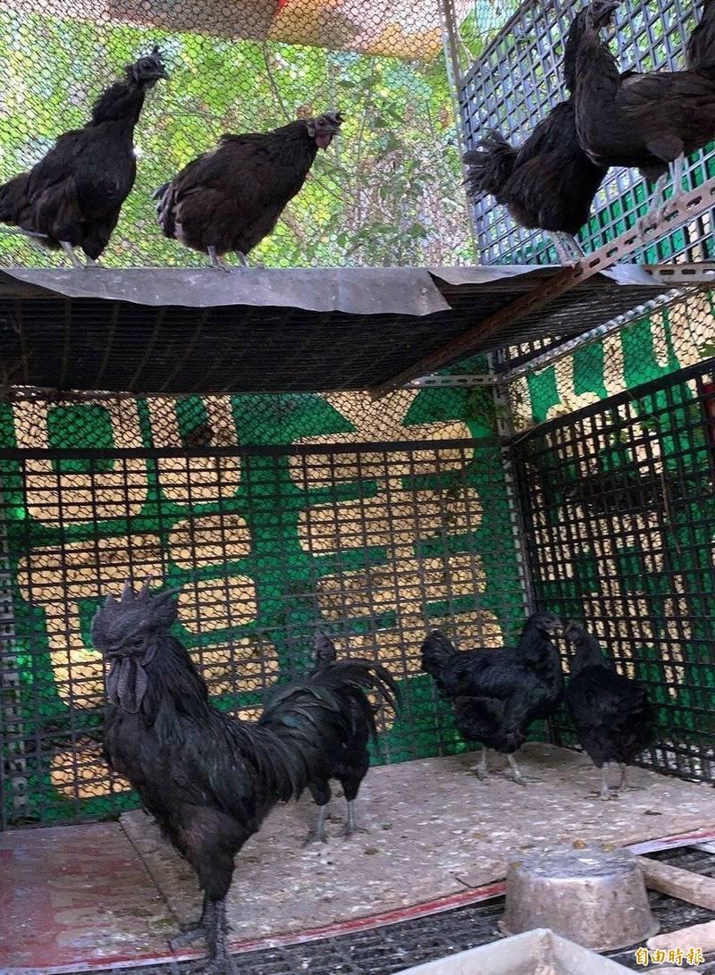 南投蕭姓農友飼養的雞隻從頭到脚一身黑,十分罕見、珍貴而有「雞中藍寶堅尼」封號。(記者謝介裕攝)