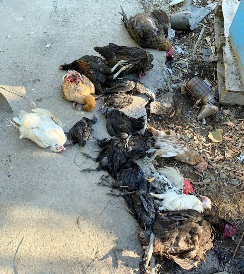 南投蕭姓農友飼養的「藍寶堅尼雞」等各式雞隻,一夜之間被流浪犬咬死20多隻,損失慘重。(記者謝介裕翻攝)