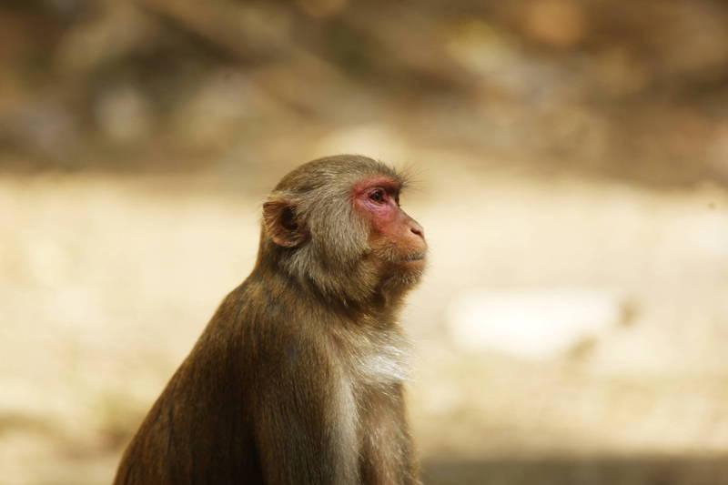 疫苗實驗用猴子多來自中國 美科研人員呼籲政府採取行動