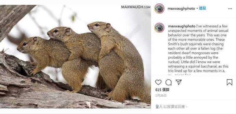 動物攝影師麥克斯日前捕捉到可愛的黃腳松鼠們,正在享受牠們的特殊時刻。(圖取自maxwaughphoto IG)