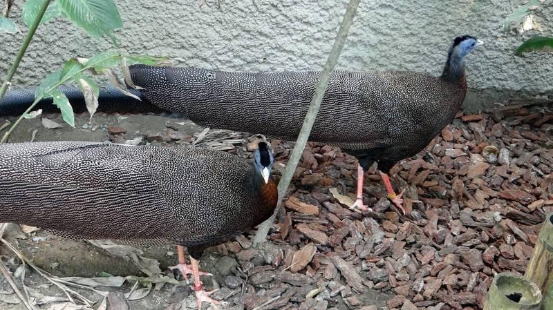 許多遊客指著穿山甲館內的大型走禽「青鸞」叫「孔雀」。(台北市立動物園提供)