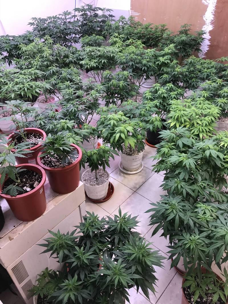 警查扣的79盆大麻。(記者邱俊福翻攝)