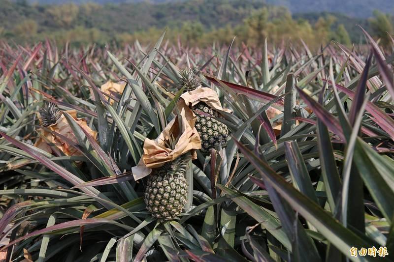 鳳梨即將進入產季,中國突以生物安全防範為由拒絕台灣鳳梨,農友多認為是政治問題。(記者邱芷柔攝)