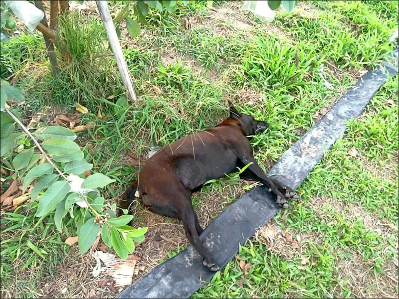 疑遭毒死的流浪狗「小黑」,與當地餵養牠的愛心媽媽已相處近7年。(民眾提供)