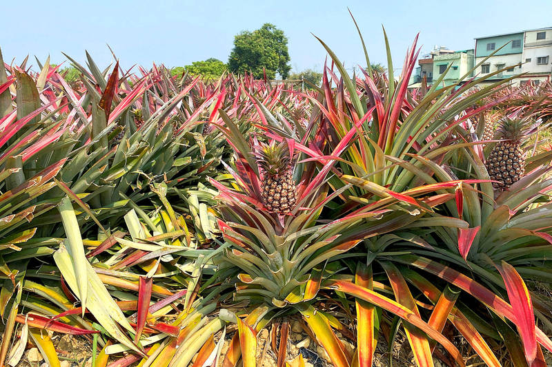 Pineapples grow in a field in Kaohsiung yesterday. Photo: Ben Blanchard, Reuters