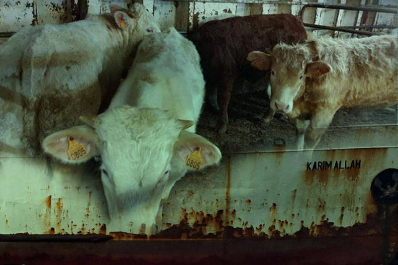 從西班牙開往土耳其的貨船上載有864頭牛隻,但土國擔憂這些牛隻可能患有藍舌病拒絕接收,船隻就此成為燙手山芋被各國踢來踢去,目前牛群面臨被西班牙撲殺的絕境。(圖均取自路透,本報後製)