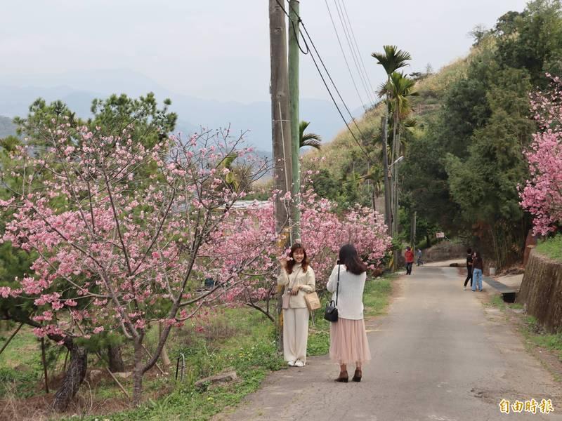 台中市新社區北天直轄院附近櫻花盛開,成為新的賞櫻秘境。(記者歐素美攝)