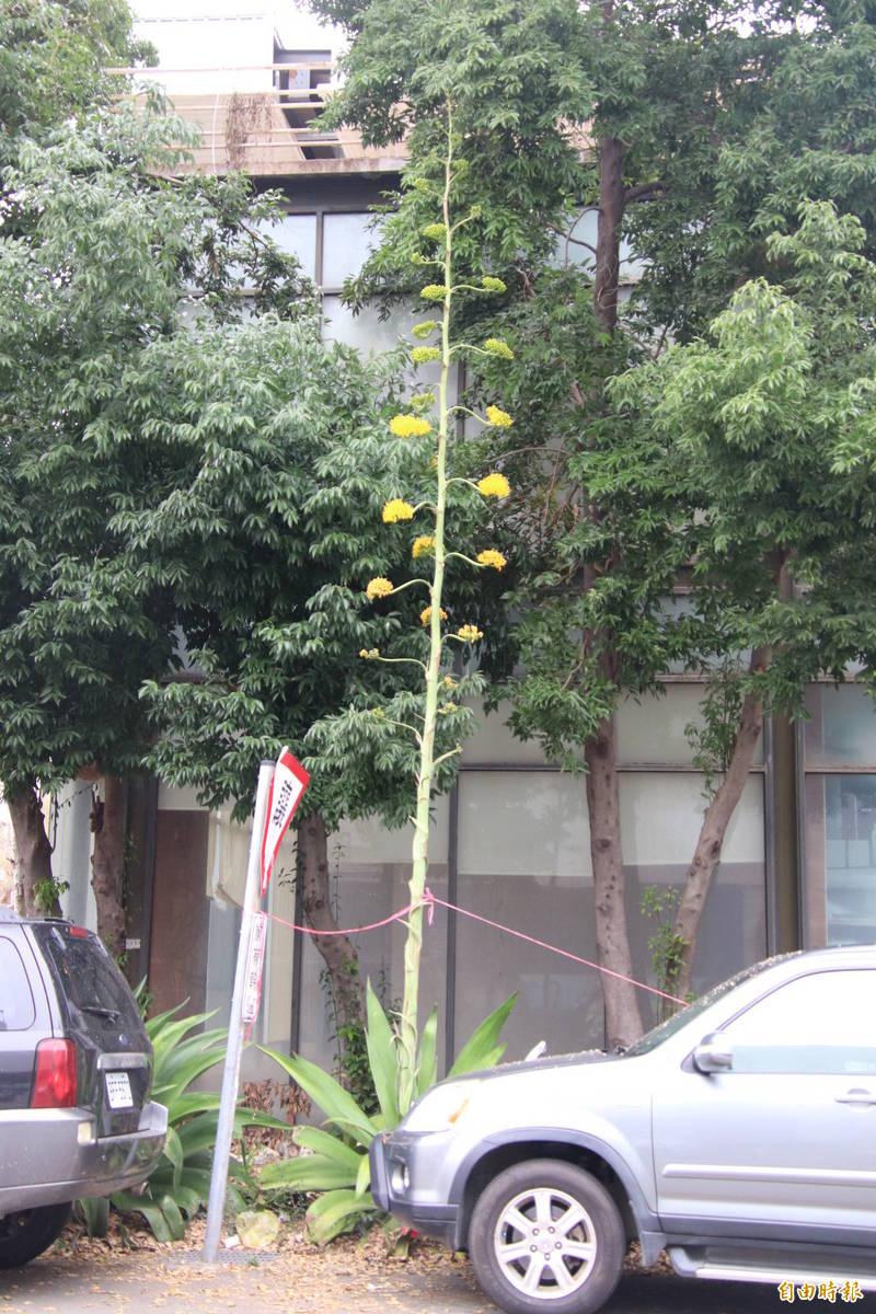 新竹縣竹北市路旁1棵龍舌蘭花靜靜綻放,花莖高達1層樓,花朵層層對稱,有點像是蠟燭燭台。(記者黃美珠攝)