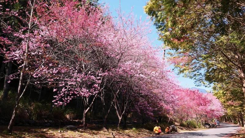 武陵農場櫻花盛開。(台中市府提供)