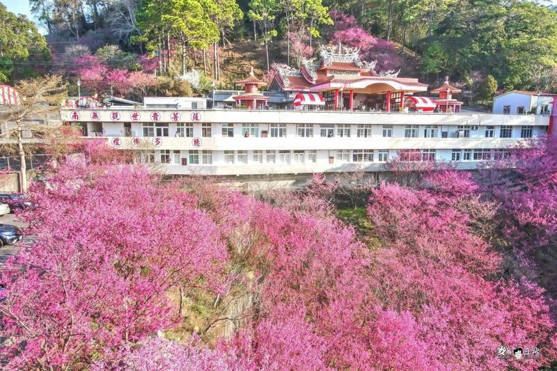 由空拍圖可見到今年協雲宮櫻花整體盛開情形。(圖由張文煥提供)