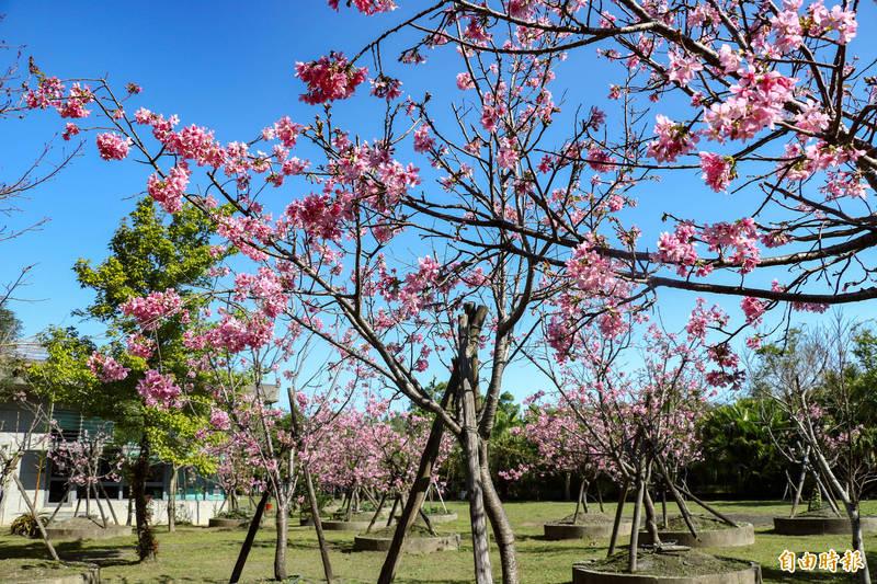 宜蘭地方檢察署約有50棵櫻花樹,春天盛開,一片粉紅相當美麗。(記者蔡昀容攝)