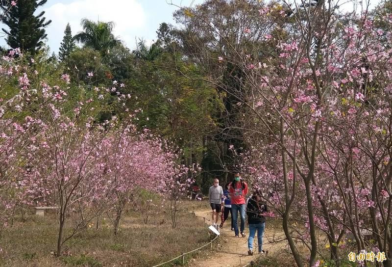 台南公園羊蹄甲林目前正值盛開,吸引不少民眾前往賞花拍照。(記者蔡文居攝)