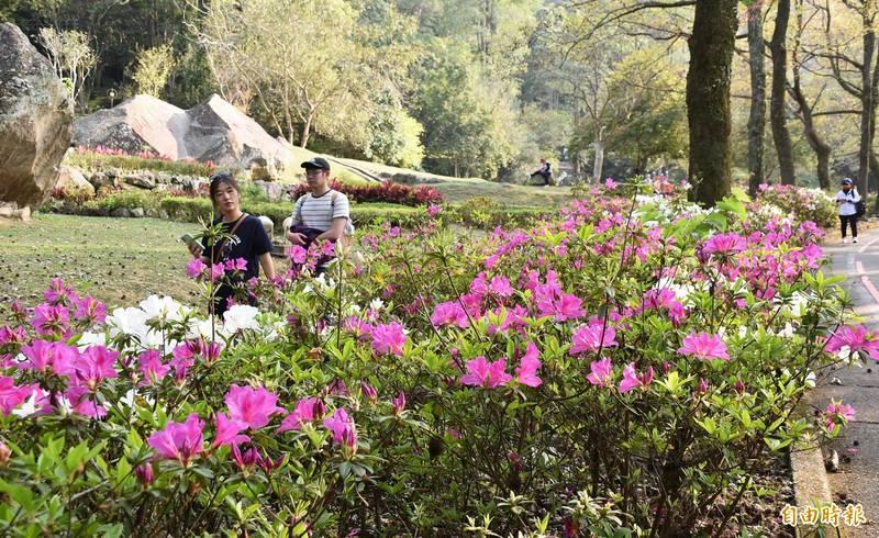石門水庫園區的杜鵑花陸續盛開,遊客駐足賞花。(記者李容萍攝)