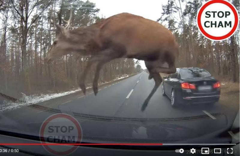 波兰普乌图斯克一处森林道路惊见鹿群飞奔横越马路。(图翻摄自「STOP CHAM」YouTube)(photo:LTN)